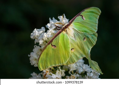 Luna Moth - Actias luna, beautiful large green moth from New World forests.
