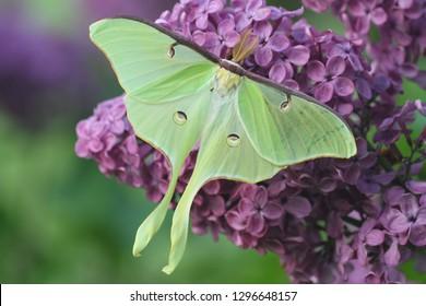 luna moth on lilac