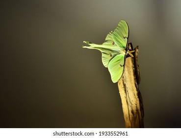 Luna moth taking a break in a patch of sunshine
