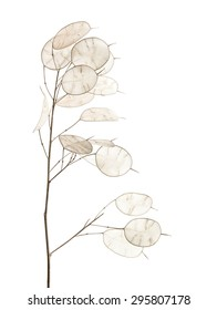 Lunaria annua, silver dollar plant isolated on white background