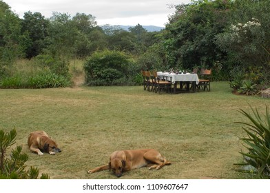Lunch table on the African lawn with two dogs