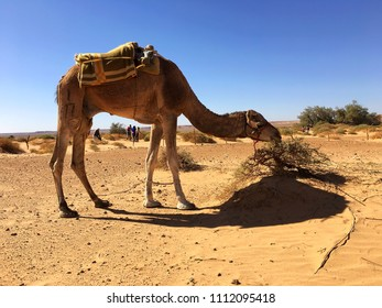 Lunch time for camel in Algerian Sahara, Beni Abbes.