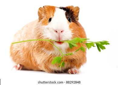 Lunch time. Funny guinea pig portrait over white background