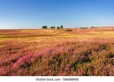 The Luneburg Heath in Full Bloom