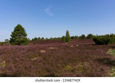 Luneburg Heath in summer with blue sky