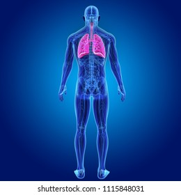 Lungs zoom with anatomy posterior   view 3d illustration