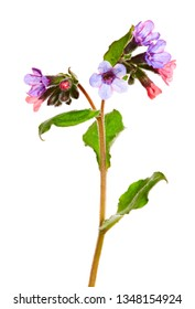 Lungwort medicinal (Pulmonaria officinalis) medicinal herb isolated on white.