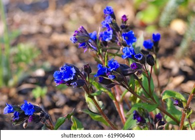 lungwort or Pulmonaria dacica species Blue Ensign