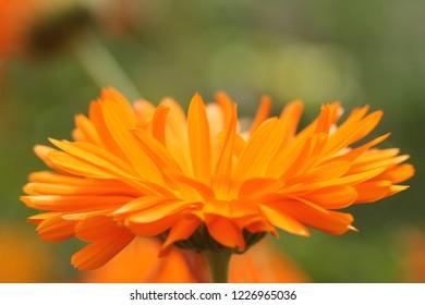 LUNINO, YAROSLAVL OBLAST / RUSSIA - JUNE 28 2017: The flowering of the common marigold in Russia