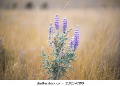 Lupin in a field of dry grass