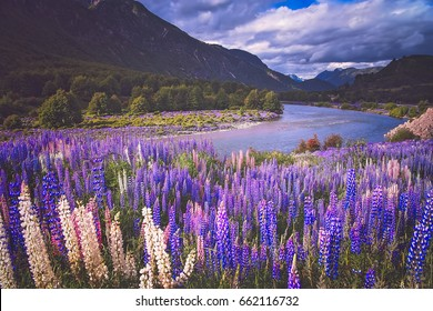 Lupin field and mountain river scenery in Chilean Patagonia, Chile
