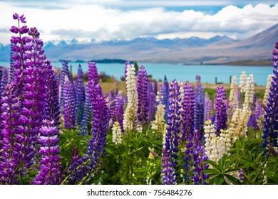 Lupin field in NZ