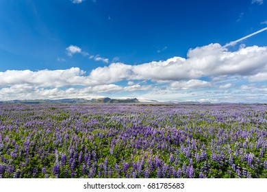 Lupin field on a background of mountains under cloudy sky in Iceland