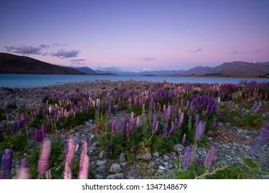 Lupin flower by lake Tekapo, New Zealand