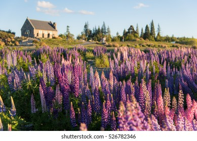Lupin flower during springtime at Lake side of Tekapo, New Zealand