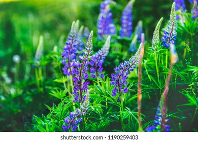 lupin flower , lupine field with pink purple and blue flowers. Bunch of lupines summer flower background
