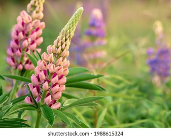 Lupin flowers blooms in the field.