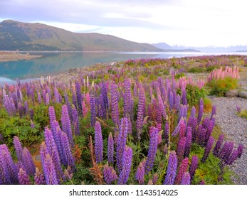 Lupin flowers field at the lake