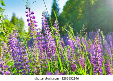 Lupin flowers field with pink purple and blue flowers. Lupin summer flower background.