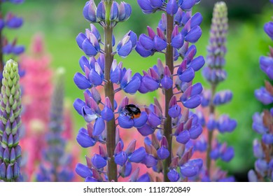 Lupin flowers in the garden with the bee