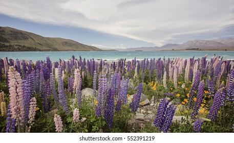 lupin flowers at Lake Tekapo, Mackenzie, New Zealand