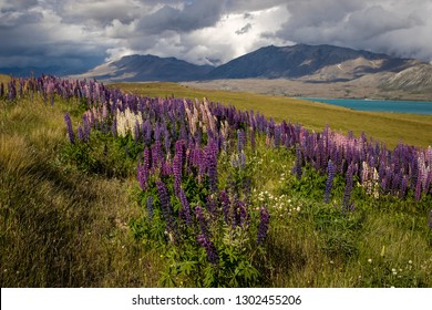 Lupin flowers in the Southern Alps of New Zealand, near Lake Tekapo