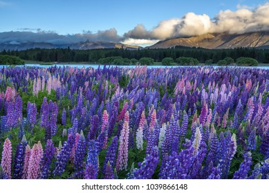 Lupin Flowers when the wind blow, come in shades of purple and pink at Lake Tekapo,New Zealand. It becomes especially beautiful from mid-November to December. It's just grasses but it's very beautiful