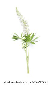 Lupin white flower isolated on white background