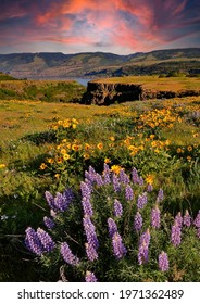 Lupine and balsom root flowers at peak bloom at the Tom McCall preserve near Rowena in the Columbia River Gorge National scenic Area, Oregon
