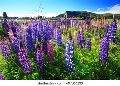 Lupine field at Church of the Good Shepherd, Takapo Lake, New Zealand