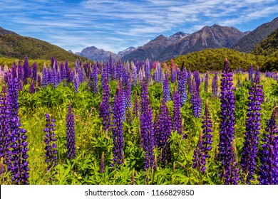 Lupine field in front of the Southern Alps in New Zealand.