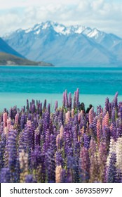lupine field and lake tekapo with southern alps