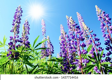 Lupine field with pink violet and blue flowers on the background of the sunny sky. Blue Lupine (Lupinus, Lupin) is a purple-colored plant in a meadow against the sky with the sun. Lupine field.