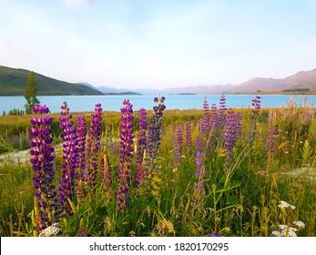 Lupine Fields by Lake Tekapo in New Zealand