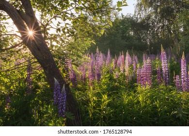 Lupine fields in Moscow region in Russia. In sunlight.