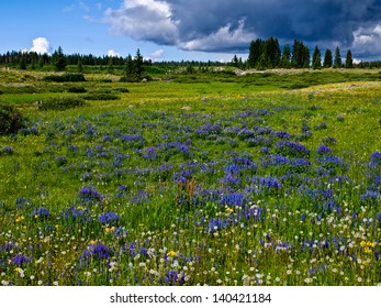 Lupine filled mountain meadow