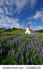Lupine flower field with a church in Vik, Iceland