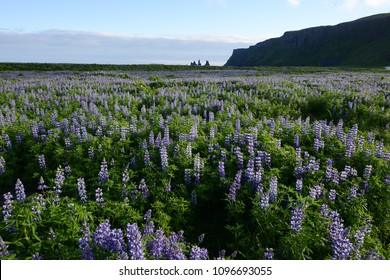 Lupine flower field in Vik, Iceland