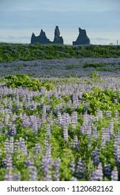 Lupine flower field in Vik, Iceland