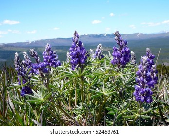 Lupine Flower Growing on Mt. Washburn, Yellowstone National Park