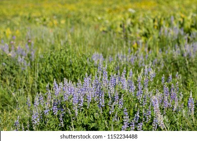 Lupine flowers at Albion Basin, Little Cottonwood Canyon, Utah, USA during summer.