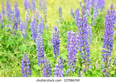 lupine flowers close-up