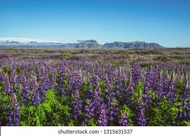 Lupine flowers field in Vik Iceland. Large landscape of Alaskan lupin.