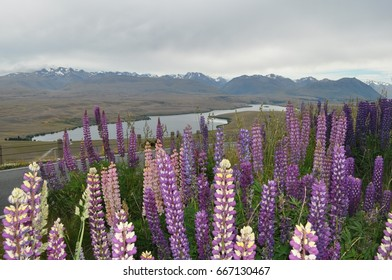 Lupine flowers at Lake Alexandrina