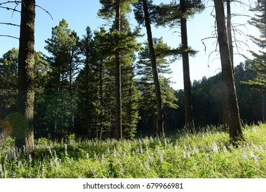 Lupine in the Forest
