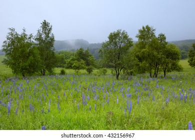 Lupine meadow, typical environment of Corncrake, Crex crex, very shy rail of european grasslands, springtime. Czech republic.