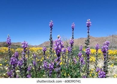Lupine and Parish's poppy blooming in Joshua Tree National Park, CA