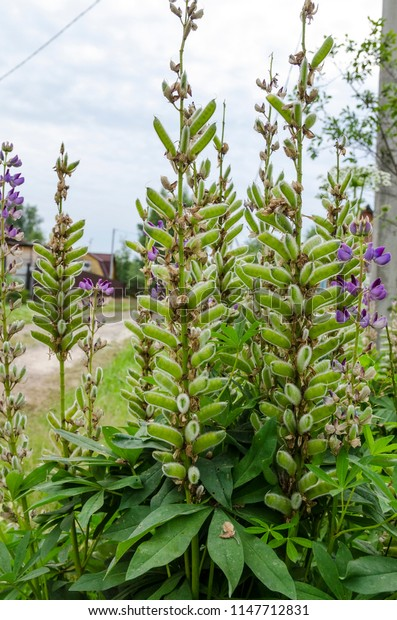 lupine plants with pods near the road