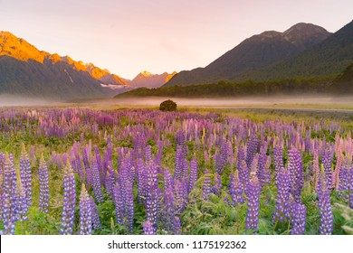 Lupine purple colour in mountain, New Zealand natural landscape background