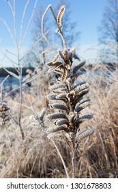 Lupine seedcase frozen in winter meadow